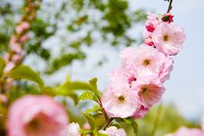 Free Cherry Blossoms Royalty Free Stock Image - 8449446