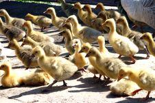 Free Goose Babies Stock Image - 8449681
