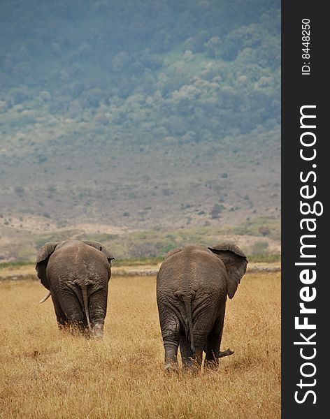 Two African Elephants Free Stock Images Photos 8448250