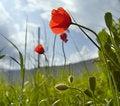 Free Wild Poppy Flower Royalty Free Stock Photos - 8454058