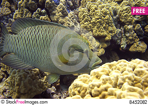 Napoleon wrasse Stock Photo