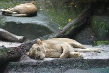 Free Sleeping Lionesses Royalty Free Stock Images - 8450709