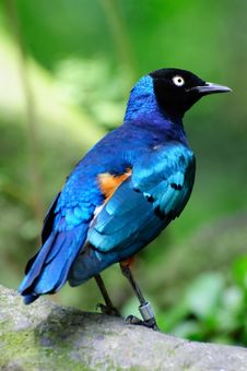 Free Superb Starling Royalty Free Stock Photo - 8450715