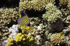 Free Royal Angelfish Royalty Free Stock Photography - 8451877