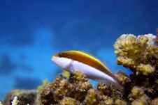 Free Hawkfish Royalty Free Stock Photo - 8452065