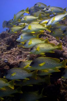Shoal Of Sweetlips Stock Photography