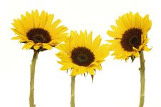 Free Sunflower Royalty Free Stock Photography - 8452537