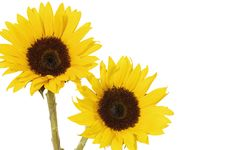 Free Sunflower Stock Image - 8452571