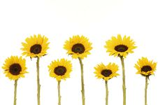 Free Sunflower Royalty Free Stock Photo - 8452695