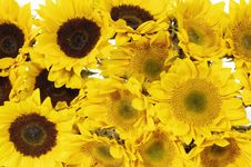 Free Sunflower Stock Images - 8452824