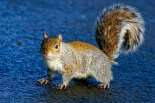 Free Grey Squirrel Stock Photo - 8453410