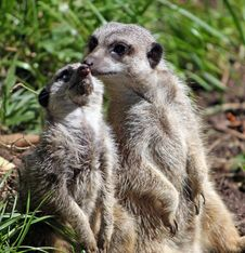 Free Meerkat Animal Stock Image - 8453931