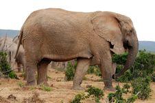 Free Big Dominant Elephant Female Royalty Free Stock Images - 8454529