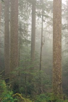 Free Misty Forest Royalty Free Stock Photos - 8454898