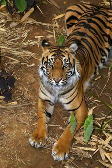 Sumatran Tigress Stock Image