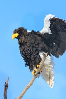 Free Steller S Sea Eagle Royalty Free Stock Photos - 8457078