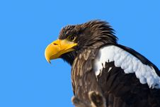Free Steller S Sea Eagle Royalty Free Stock Photo - 8457095