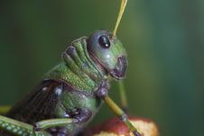 Giant South American Grasshopper Royalty Free Stock Photo