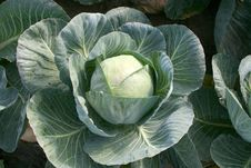 Free Cabbage Stock Photography - 8458152