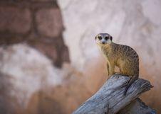 Meerkat Glaring Stock Photo