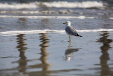 Free Reflected Gull Royalty Free Stock Photos - 8458198