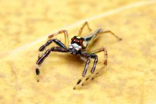 Free Spider (Epeus Alboguttatus) Royalty Free Stock Photography - 8458757