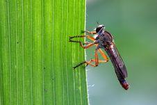 Carnivorous Tabanidae Stock Photography