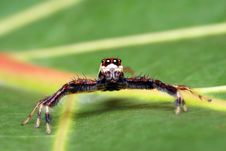 Free Spider (Epeus Alboguttatus) Royalty Free Stock Photos - 8459158
