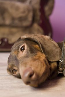 Free Brown Dachshund Royalty Free Stock Image - 8459576