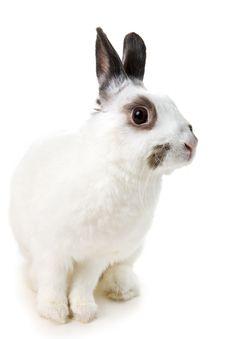 Free White Rabbit Royalty Free Stock Image - 8459696
