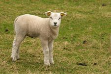 Free Cute Little Lamb Looking At You Royalty Free Stock Image - 8459786