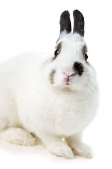 Free White Rabbit Royalty Free Stock Images - 8459809