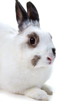 Free White Rabbit Royalty Free Stock Photos - 8459998