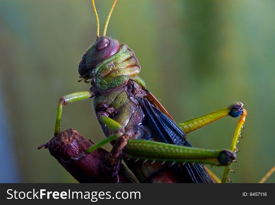 Giant South American Grasshopper
