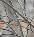 Free Tufted Titmouse Stock Photography - 8461142