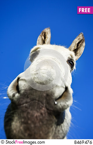 Free White Donkey Royalty Free Stock Image - 8469476