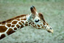 Free Giraffe Head Stock Photography - 8460182