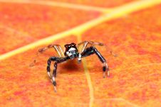 Free Spider (Epeus Alboguttatus) Royalty Free Stock Photography - 8460427