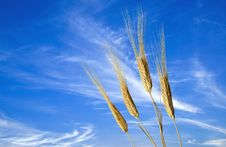 Free Wheats Royalty Free Stock Images - 8460549