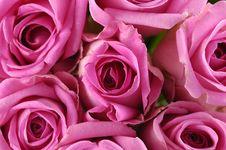 Free Rose Stock Image - 8460781