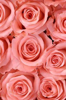Free Rose Royalty Free Stock Photos - 8460948