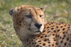 Free Cheetah Royalty Free Stock Photo - 8461065
