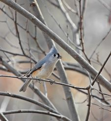 Tufted Titmouse Stock Photography