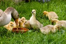 Free Mother Goose Stock Photo - 8461200
