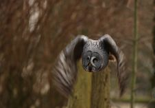 Free Great Grey Owl Stock Photos - 8461313