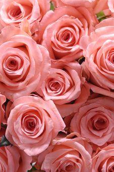 Free Rose Stock Image - 8461321