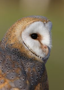Free Barn Owl Stock Photos - 8461413