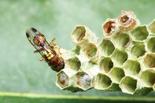 Free Wasp On Nest Royalty Free Stock Images - 8462339