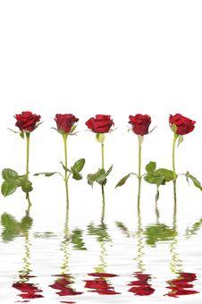 Free Rose Stock Photos - 8462803