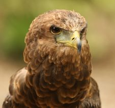 Bateleur Eagle Stock Photo